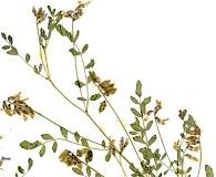 Astragalus bodinii