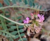 Astragalus cobrensis