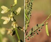 Astragalus egglestonii