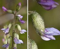 Astragalus eucosmus