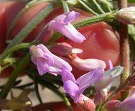 Astragalus gracilis