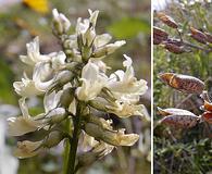Astragalus leibergii
