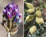 Astragalus magdalenae