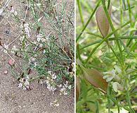 Astragalus mulfordiae