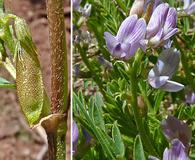 Astragalus multiflorus