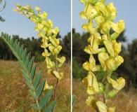 Astragalus oocarpus