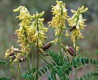 Astragalus praelongus
