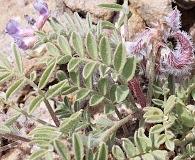 Astragalus pubentissimus