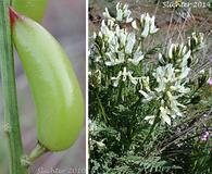Astragalus reventiformis