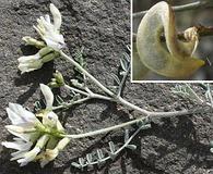 Astragalus speirocarpus