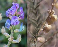 Astragalus thurberi