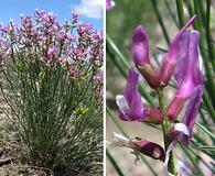 Astragalus toanus