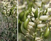 Astragalus tweedyi