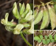 Astragalus villosus