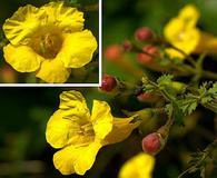 Aureolaria grandiflora