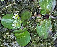 Bacopa rotundifolia