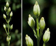 Bartonia virginica