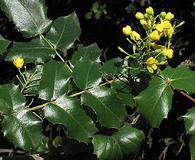 Berberis pinnata
