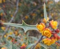 Berberis trifoliolata