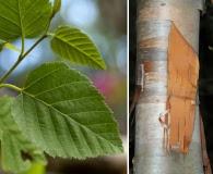 Betula cordifolia