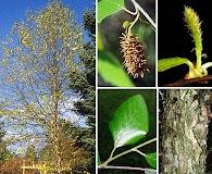 Betula nigra