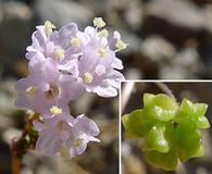 Boerhavia triquetra
