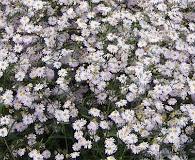 Boltonia caroliniana