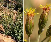 Brickellia brachyphylla