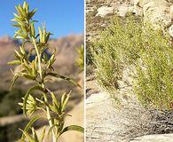 Brickellia longifolia