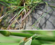 Bromus carinatus