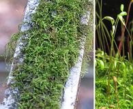 Bryohaplocladium microphyllum