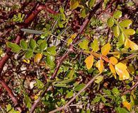 Bursera laxiflora