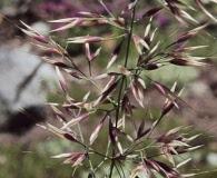 Calamagrostis sesquiflora