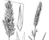Calamagrostis tweedyi
