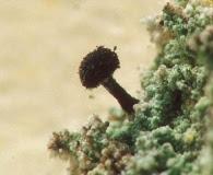 Calicium lenticulare