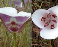 Calochortus argillosus