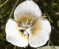 Calochortus subalpinus