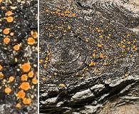 Caloplaca holocarpa