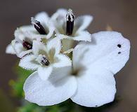 Calycadenia pauciflora