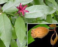 Calycanthus occidentalis