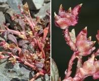 Calyptridium parryi