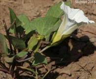 Calystegia atriplicifolia