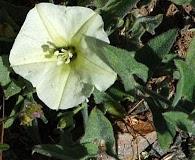 Calystegia malacophylla