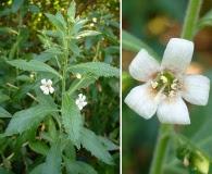 Capraria biflora