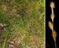 Carex albolutescens