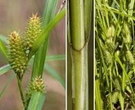 Carex aureolensis