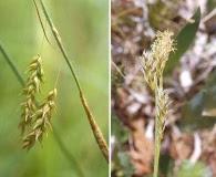 Carex castanea