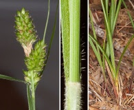Carex complanata