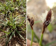 Carex concinnoides