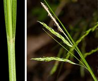 Carex debilis